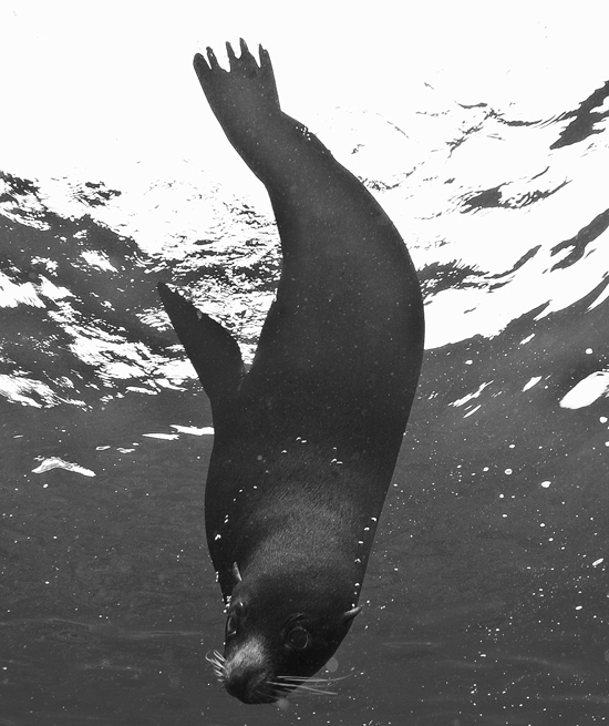086 sea lion,Galapagos.jpg